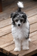 Chinese Crested, 3  months, Black and White